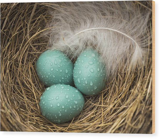 Wet Trio Of Robins Eggs Wood Print