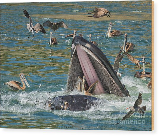 Whale Almost Eating A Pelican Wood Print
