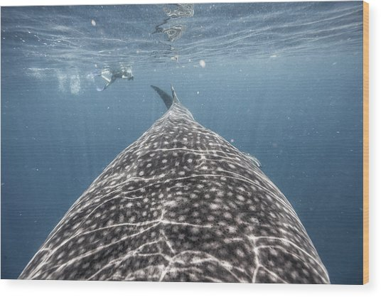 Whale Shark Expedition Wood Print