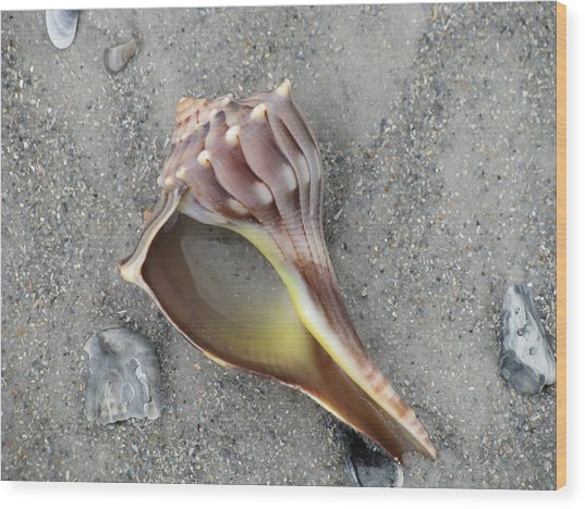 Whelk With Sand Wood Print