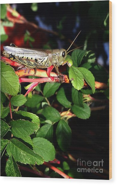 Grasshopper - Close Up Wood Print