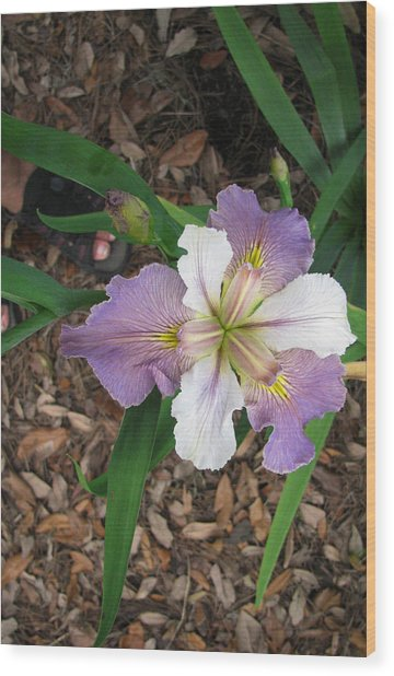 White And Lavender Iris Flower Wood Print by Tom Hefko