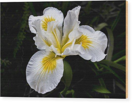 White And Yellow Bearded Iris Wood Print
