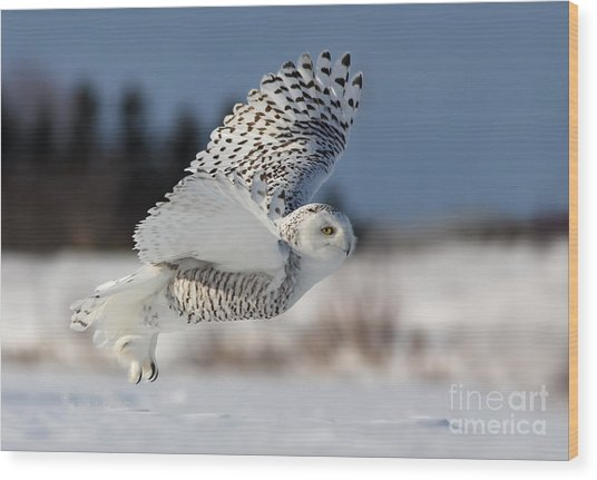 White Angel - Snowy Owl In Flight Wood Print