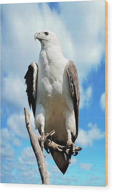 White-bellied Sea Eagle Wood Print