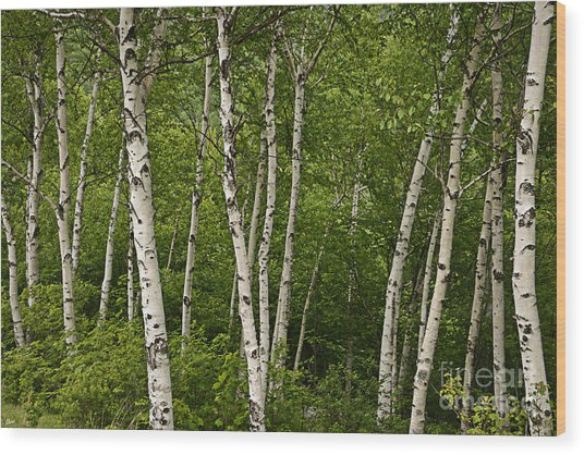 White Birch Wood Print