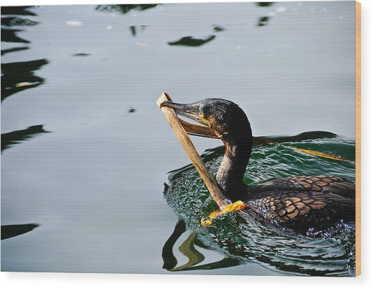White Breasted Cormorant Wood Print