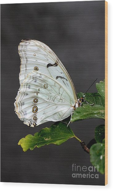 Wood Print featuring the photograph White Butterfly by Jeremy Hayden