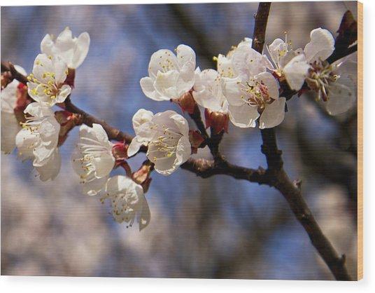 White Cherry Blossoms Wood Print