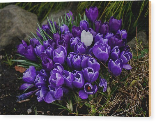 White Crocus On A Field Of Purple Wood Print by Ron Roberts