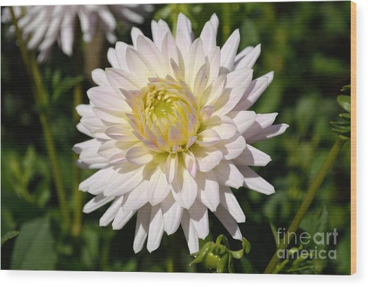 White Dahlia Flower Wood Print