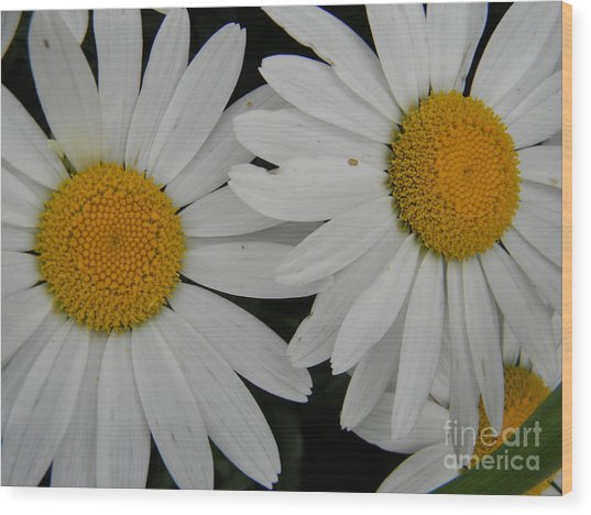 White Daisy In Full Bloom Wood Print