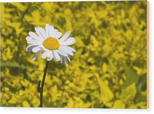 White Daisy In Yellow Garden Wood Print