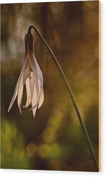 White Dogtooth Violet Wood Print