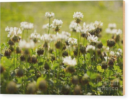 White Dutch Clover Wild Plants In The Sunshine Wood Print