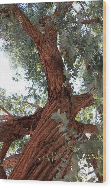 White Eucalyptus Tree Wood Print