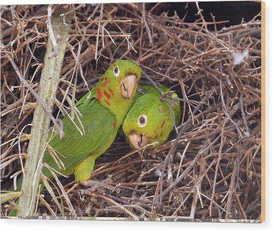 White-eyed Parakeets Nesting Wood Print by Science Photo Library