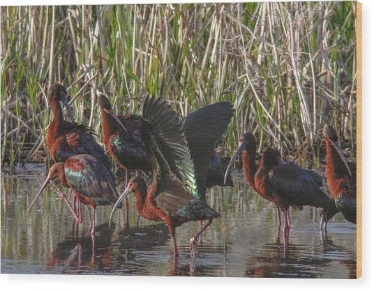 White-faced Ibis  Wood Print by Jill Bell