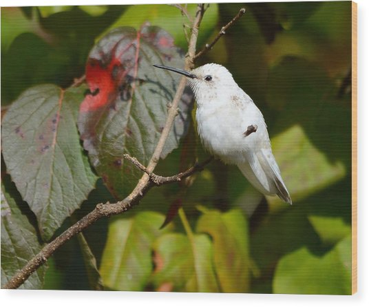 White Hummingbird Wood Print