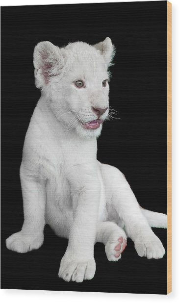 White Lion Cub Wood Print