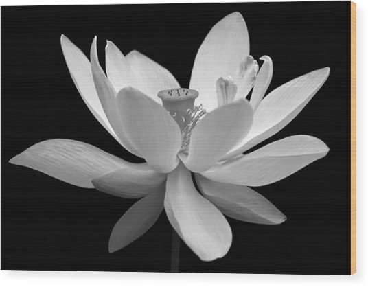 White Lotus Wood Print