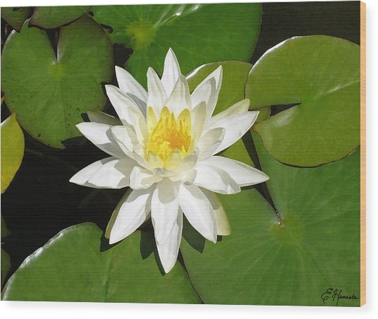 White Lotus 1 Wood Print
