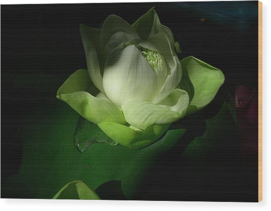 White Lotus Unfolding Wood Print