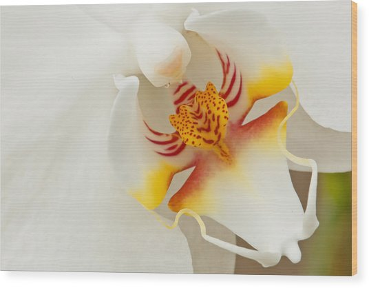 White Orchid 2 Wood Print