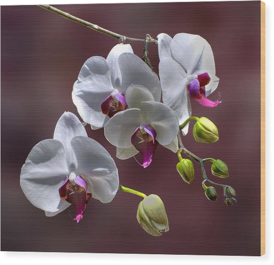 White Orchids Wood Print by Bob Mulligan