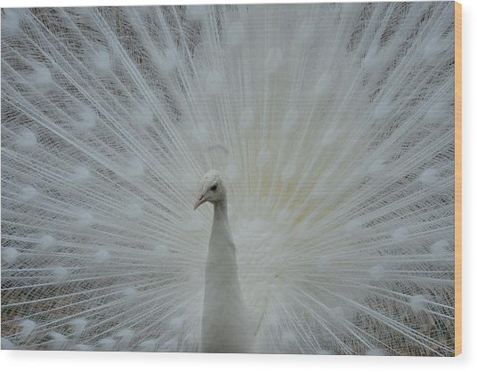 White Peacock Wood Print by T C Brown