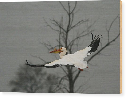 White Pelican Flight Wood Print