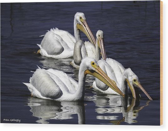 White Pelicans Fishing Wood Print