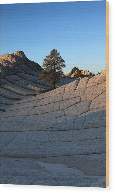 White Pocket Pinyon Wood Print