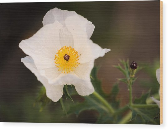 White Prickly Poppy Wood Print by Thomas Pettengill