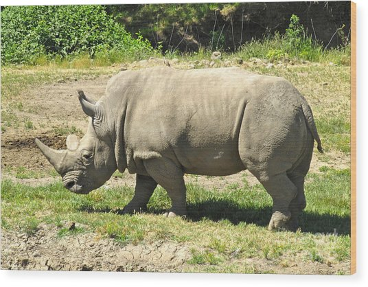 White Rhinoceros Grazing Wood Print