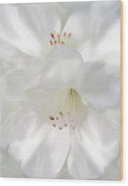 White Rhododendron Flowers Wood Print