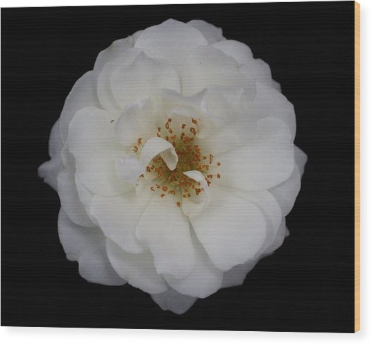 White Rose 2 Wood Print by Carol Welsh