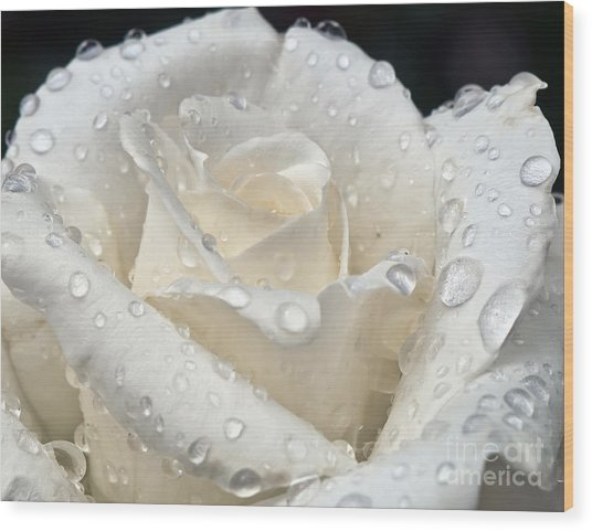 White Rose After The Rain Wood Print