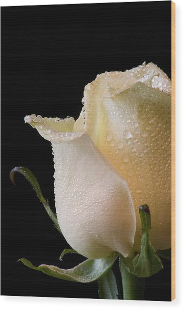 White Rose Close-up Wood Print