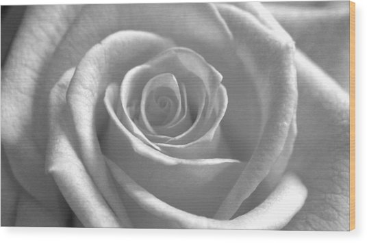 White Rose Glooming Wood Print