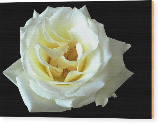 White Rose Number One Wood Print