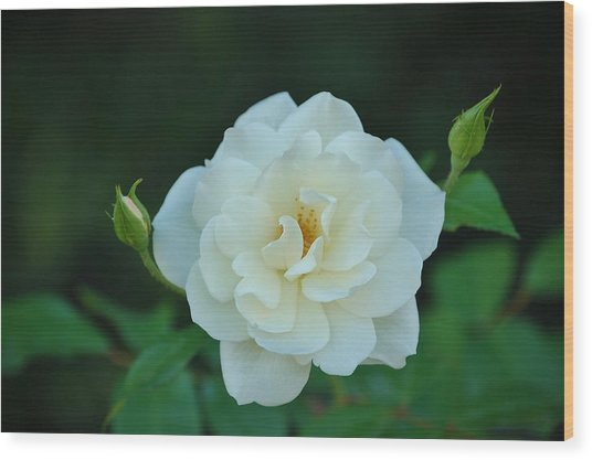White Rose With Two Buds Wood Print
