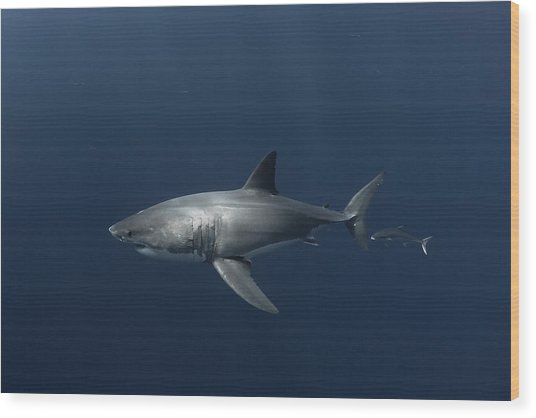 White Shark With Fish Wood Print by David Valencia