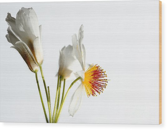 White Sparmannia Africana Plant. Wood Print