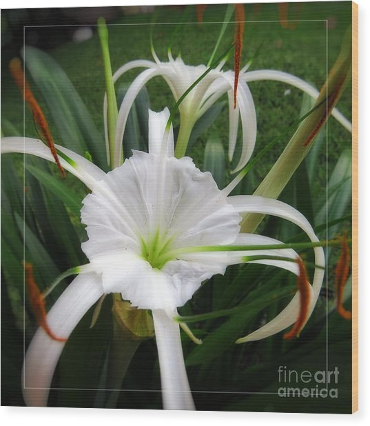 White Spider Lily Flower Wood Print