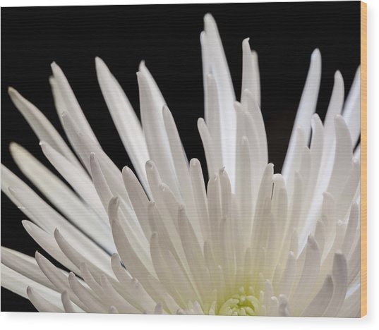 White Spider Mum On Black Wood Print