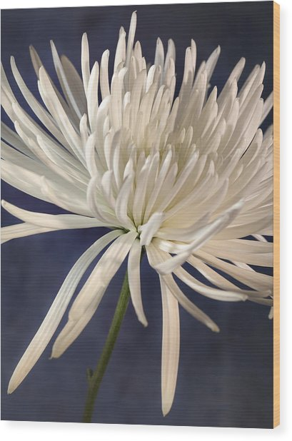White Spider Mum On Blue Wood Print