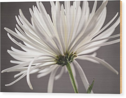 White Spider Mum On Gray Wood Print