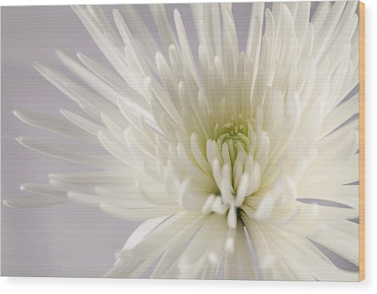 White Spider Mum On White Wood Print