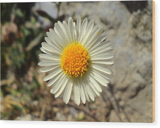 White Wild Flower Wood Print